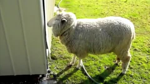 Funny Animal Video - Sheep Headbutting Shed