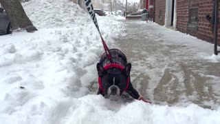 French Bulldog Hates Snow - Video
