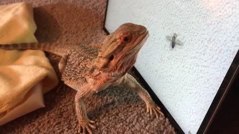 Lizard Practices Her Bug-Hunting Skills On Computer Screen
