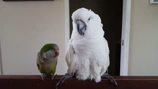 Parrot repeatedly tells cockatoo