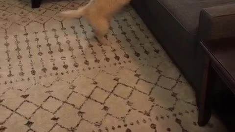 Golden retriever puppy jumps but cant reach tv remote on the couch