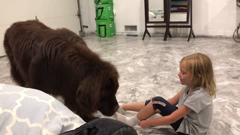 Nanny dog pulls girl around by her sock