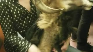 Woman carrying goat head on train - Video