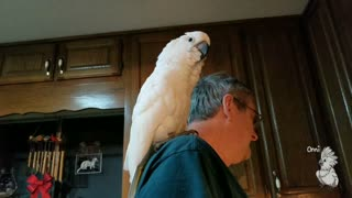 Cockatoo serenades owner by singing 'I love you'  - Video