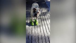 Boxer Dog Struts His Crocs Like A True Fashionista - Video