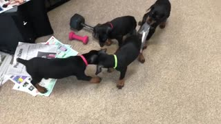 Doberman puppy escape and attack sock