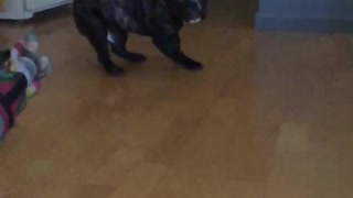 Black dog trying to catch pillow in slomo and misses