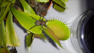 Huge spider eaten by Venus Flytrap! - Video