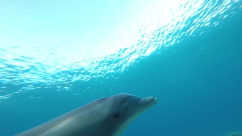 Dolphin swimming with divers in the Red Sea, Eilat Israel