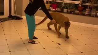 Pet puma plays with toy just like a house cat