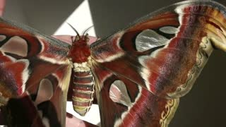 Giant Atlas Moths - Video