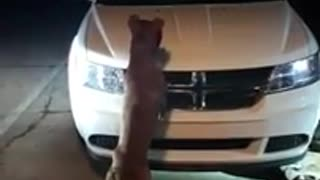 Pitbull Attacks Car - Video