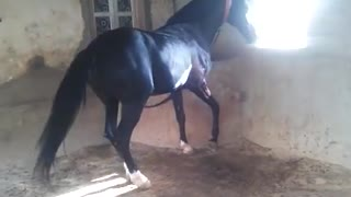 Horse want to run in Race  - Video