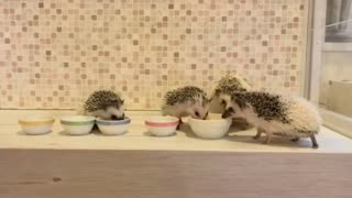 Hedgehog Family Adorably Eats Meal Together - Video