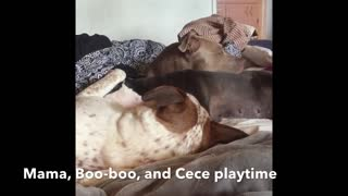 Pit Bull sisters love each other  - Video