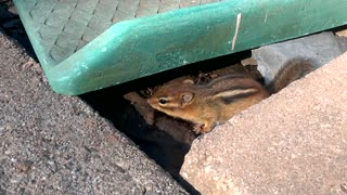 Uncovered Chipmunk  - Video