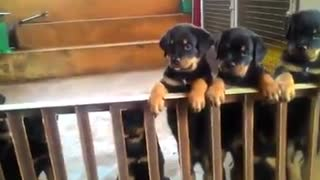 Puppies Rottweiler  - Video
