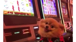 Pomeranian plays slots at the casino
