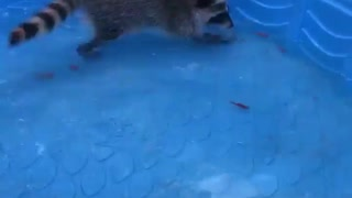Rescued raccoon practices catching fish in pool