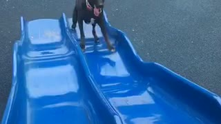 Dog trying to go up slide keeps sliding down