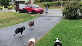 Pack of Highland Haven Aussie dogs run over to welcome owner home