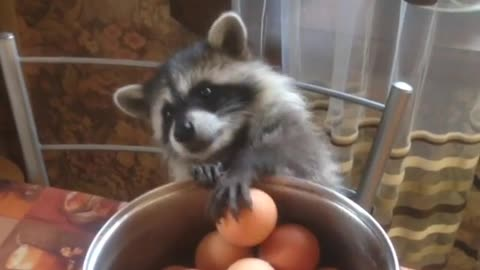 This pet raccoon truly loves hard boiled eggs!