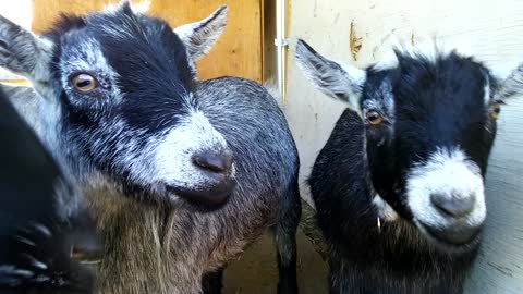 What has these goats so focused?