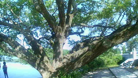Tree With Huge Branches