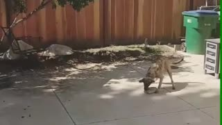Brown grey dog trying to pick up rock with mouth