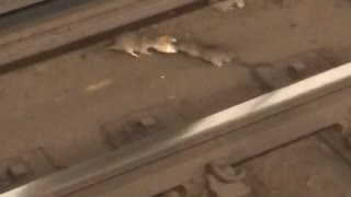 Two rats fighting for bread rails