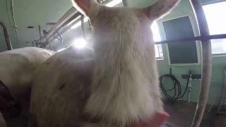 GoatPro Milking Parlour - Video