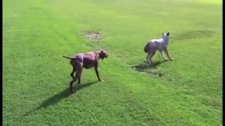Dog hunts for wolf - Video