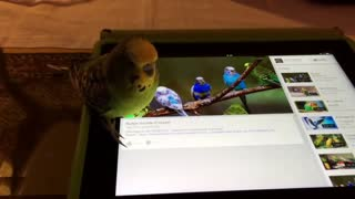 Budgie Reacts to Budgie Sounds