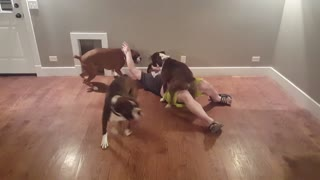 Doing a push-up challenge with four playful boxers is nearly impossible