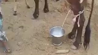 Very intelligent cow give milk automatically  - Video