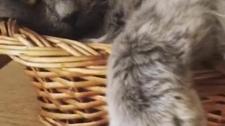 Grumpy grey cat sits in woven basket - Video