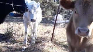 Young bull interrupts work for attention