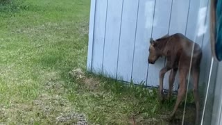 Curious Moose Calf Pulls the Power