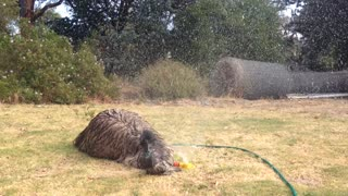 Playful Emu Loves To Play Under The Lawn Sprinklers - Video
