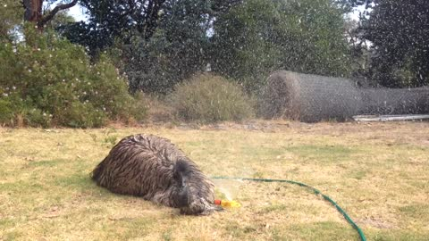 Playful Emu Loves To Play Under The Lawn Sprinklers