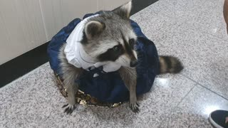 Rakoon sits in traditional Korean costume(hanbok) and asks for a snack.