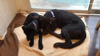 Small chocolate brown lab tries to wiggle its way from under its mother