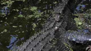 Alligator female with her babies