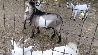 Naughty Goats - Video
