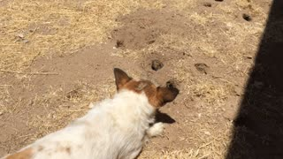 Our Dog Gets Punked by a Gopher - Video