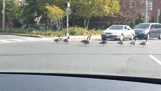 Geese crossing road cause traffic jam