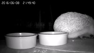Cute hedgehog caught stealing cat food on IP cam