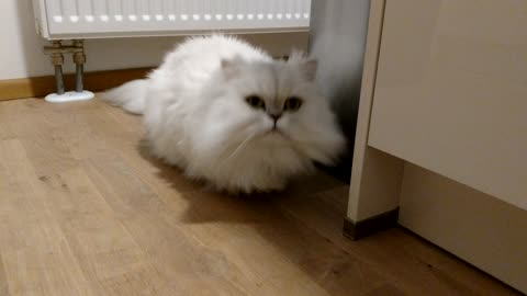 Lovely Persian Cat can't wait to cuddle
