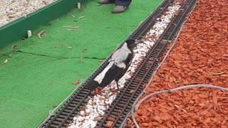 Maggie the Domestic Magpie - Video