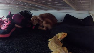 One Eyed Lizard Mistakes Rabbit for food!! - Video